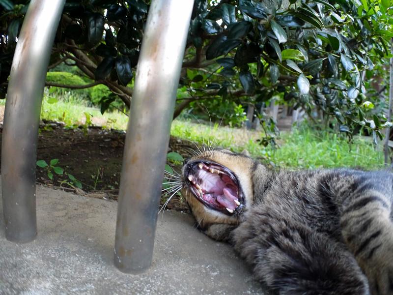 支柱と欠伸をするキジトラ猫1