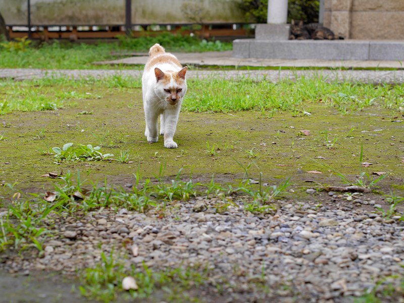 やっと登場の茶白猫1