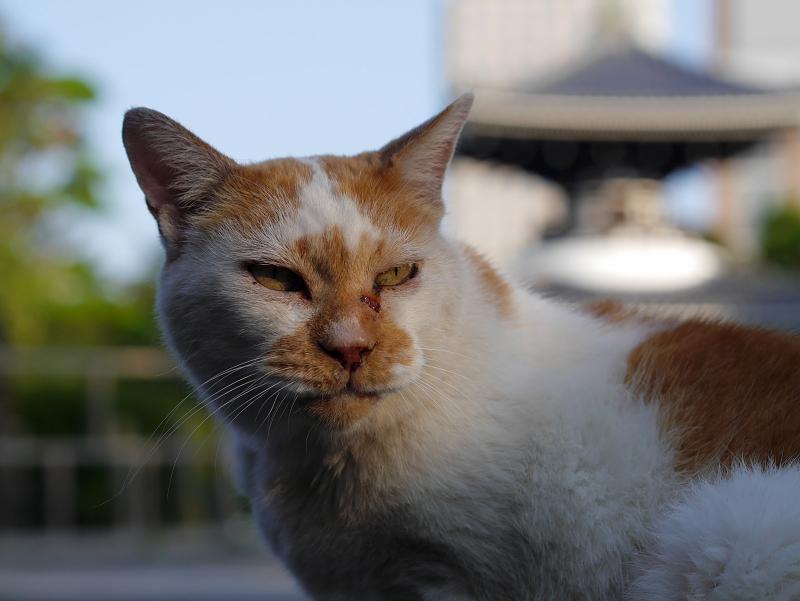 境内の白茶猫1
