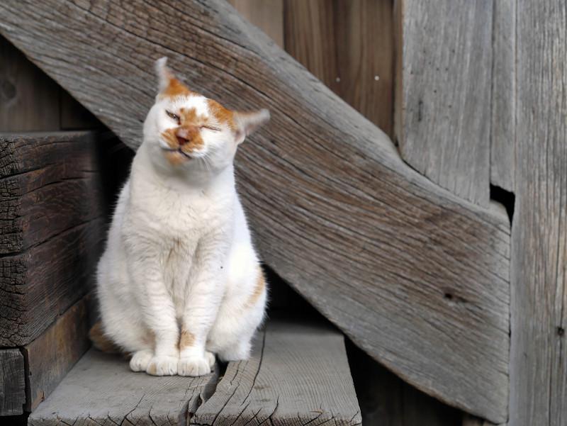 顔を振る白茶猫1