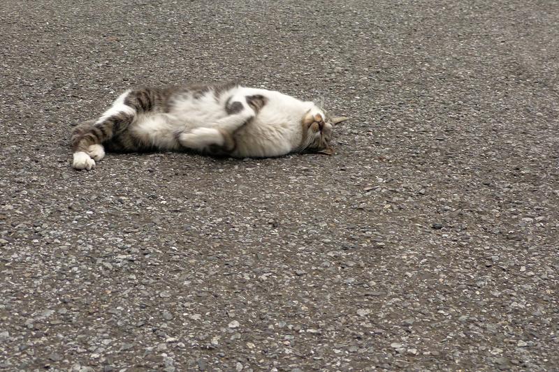 転がってるキジ白猫2