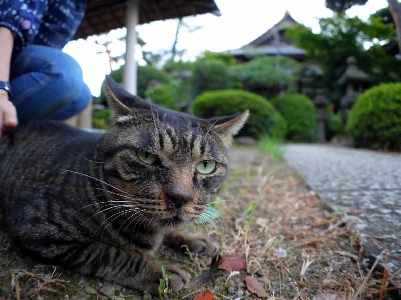 境内で腹ばうキジトラ猫2