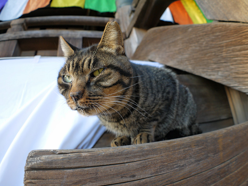 階段の端のキジトラ猫2