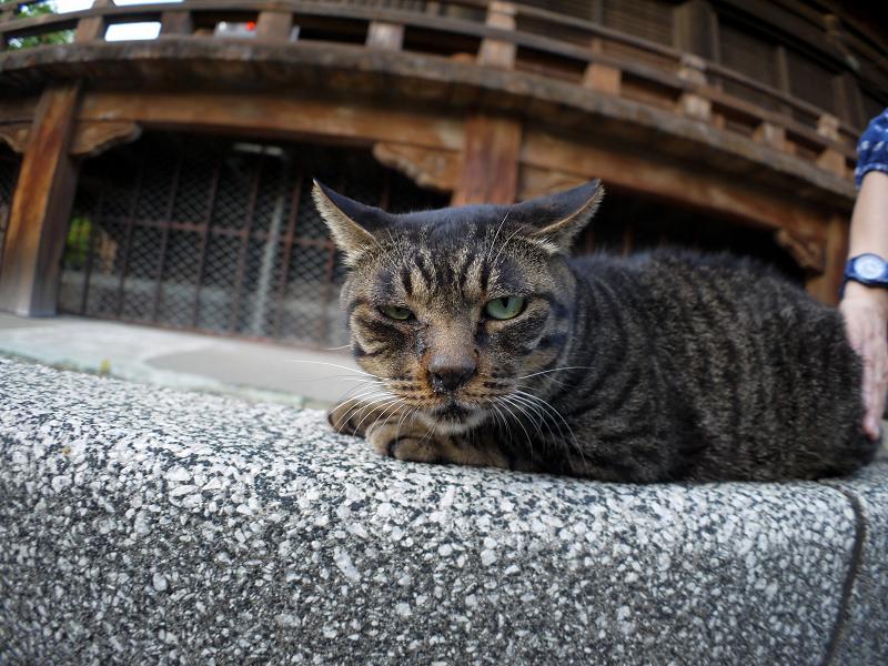 境内で腹ばうキジトラ猫3