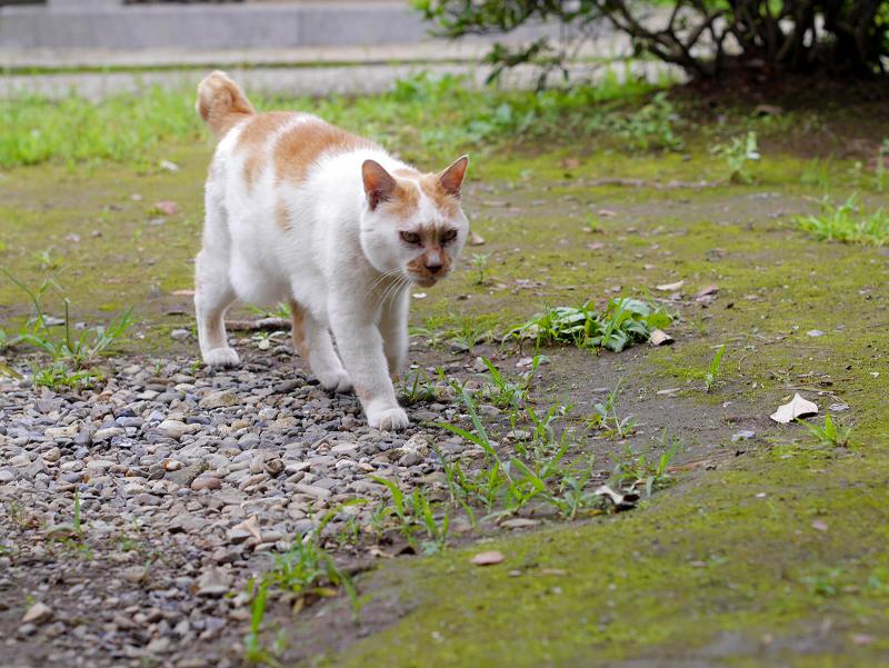やっと登場の茶白猫3