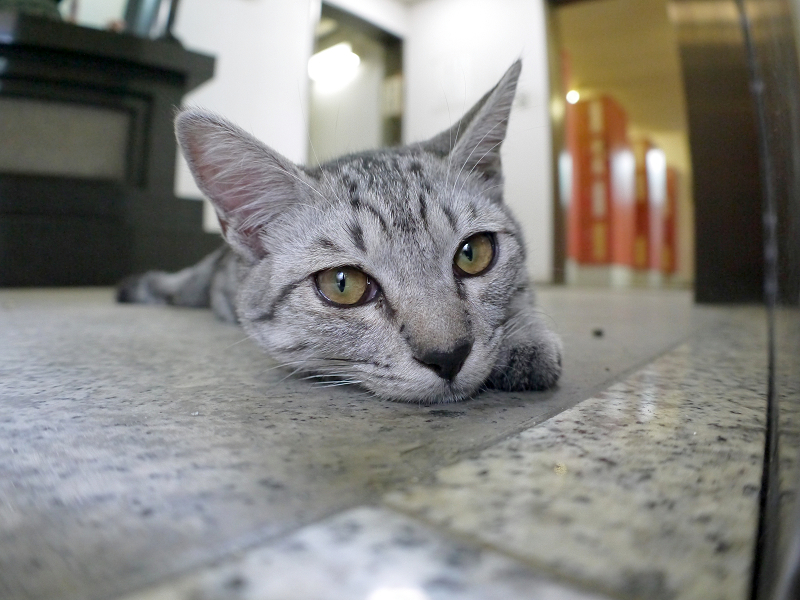 お堂内で横になっているサバトラ仔猫1