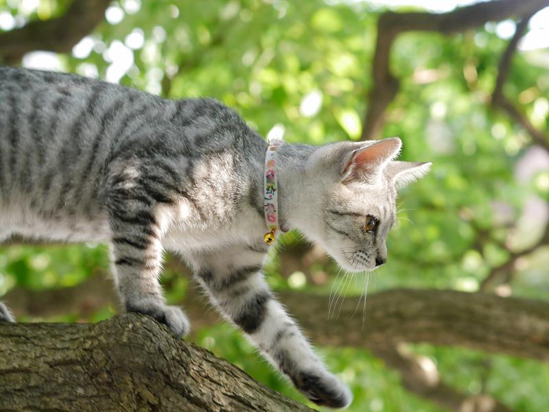 クスノキの遊びを満喫したサバトラ仔猫1