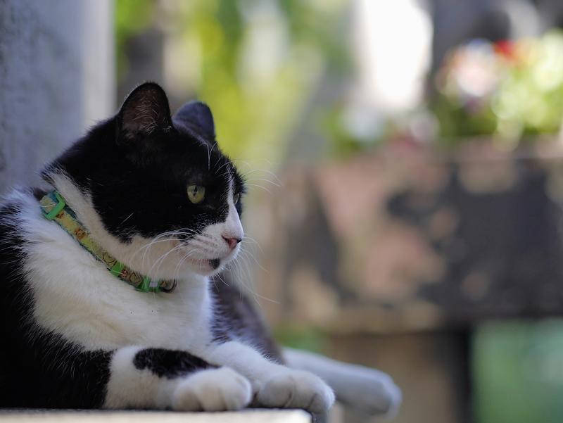 石碑の裏の黒白猫1