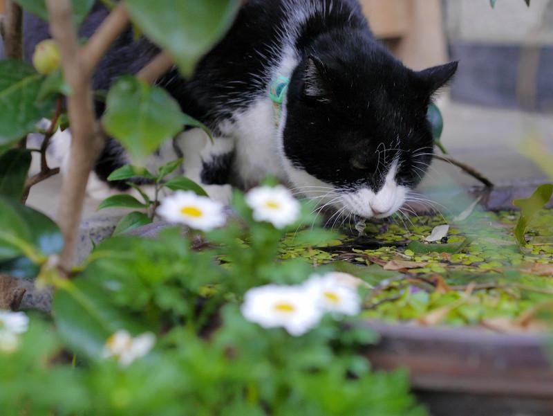 水を飲んでいる黒白猫1