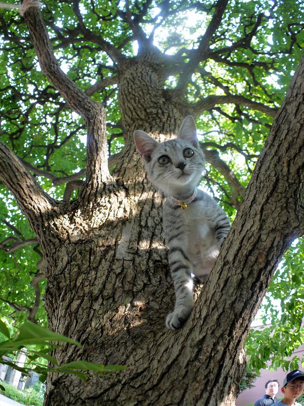 クスノキの遊びを満喫したサバトラ仔猫2