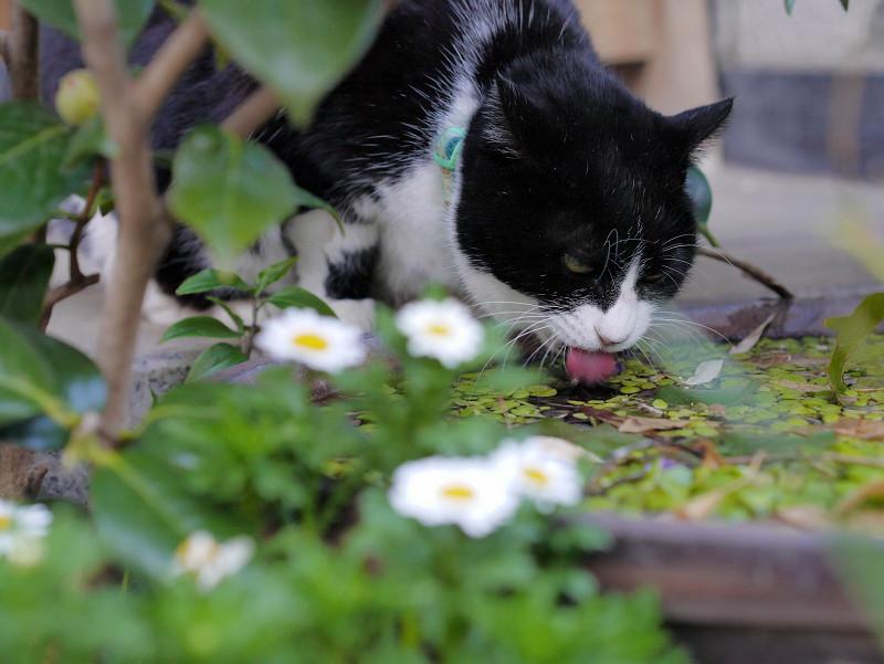 水を飲んでいる黒白猫2