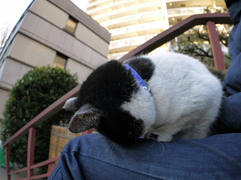 膝でごめん寝してる白黒猫3