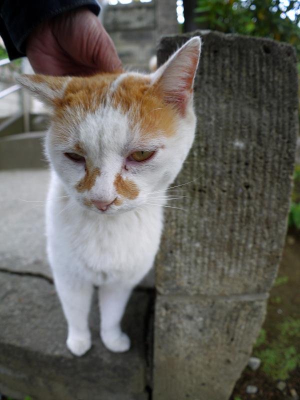 頭を撫でられる白茶猫1