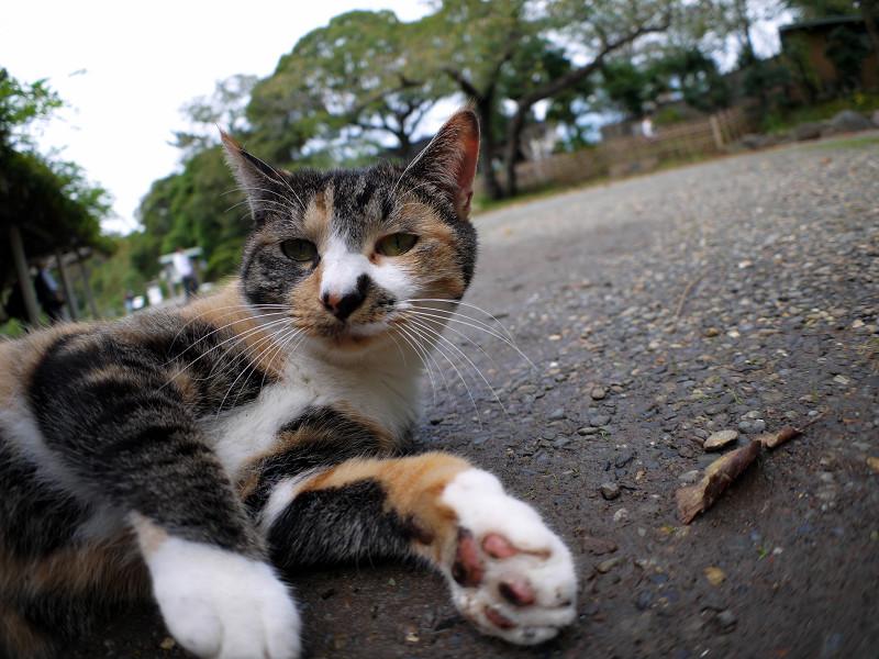 庭園で転がってる三毛猫