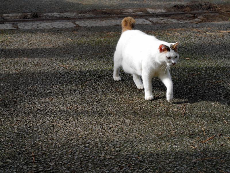 意気揚々と歩く白キジ猫1
