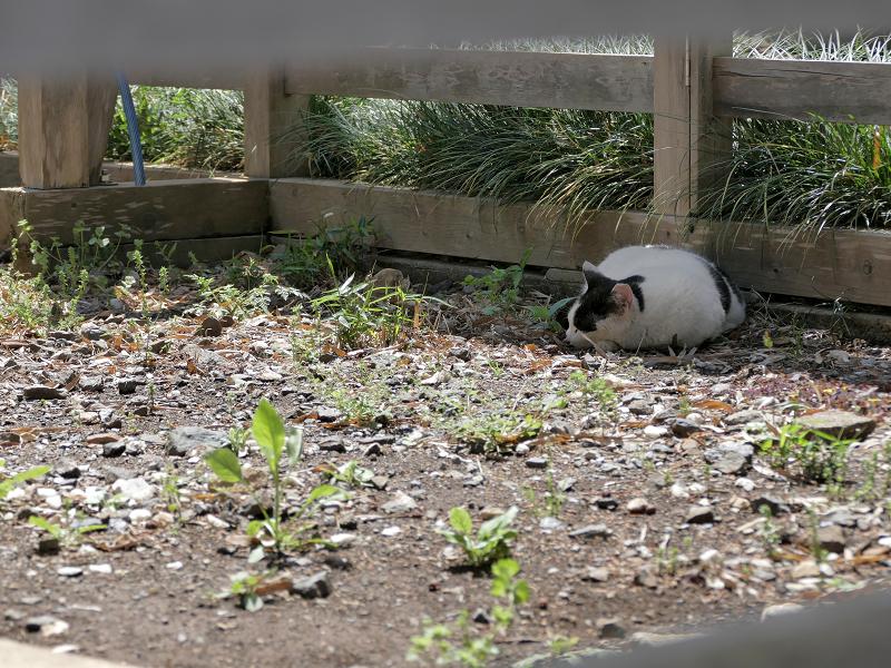 寝ている白キジ猫