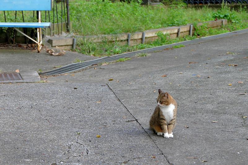 空き地のキジ白猫