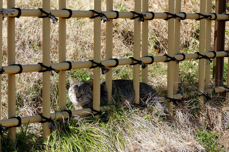 柵の向こうのキジトラ猫1