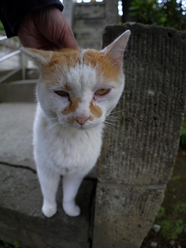頭を撫でられる白茶猫2