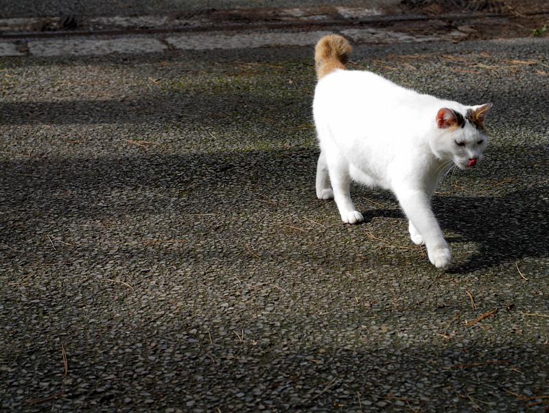 意気揚々と歩く白キジ猫2