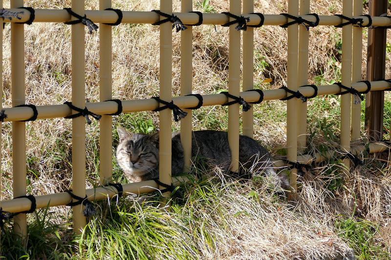 柵の向こうのキジトラ猫2