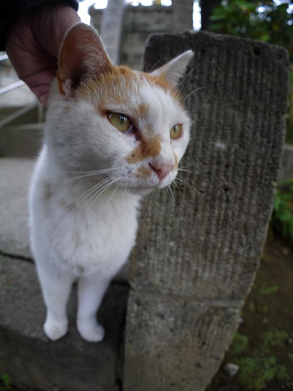 頭を撫でられる白茶猫3