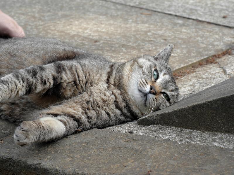 仰向け悶絶のキジトラ猫3