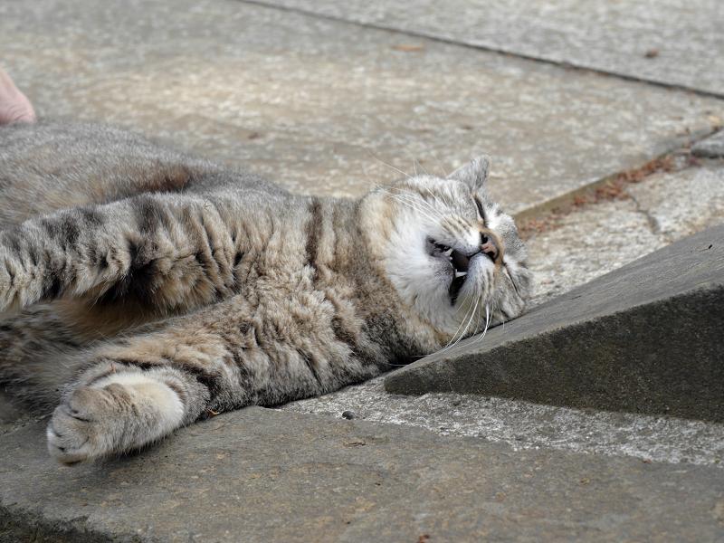 仰向け悶絶のキジトラ猫4