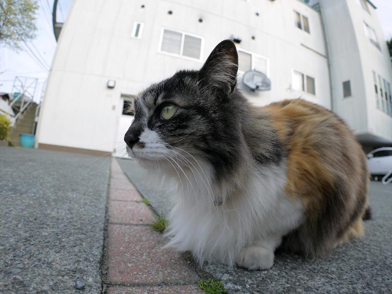 毛が長い三毛猫をローアングルで1