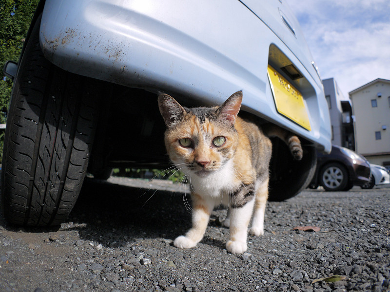 車の下の三毛猫1