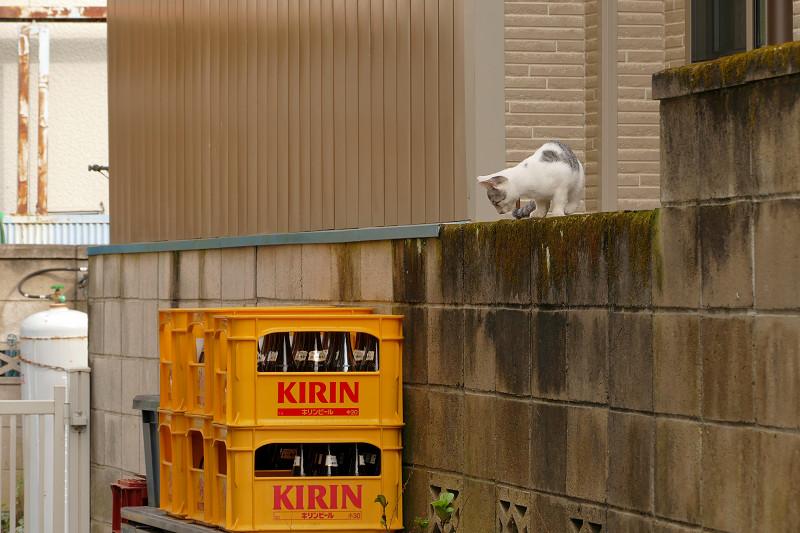 ブロック塀を降りる親猫1