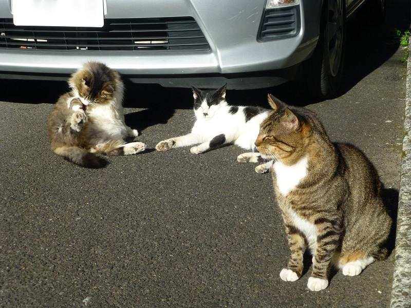 車の前の猫3匹1