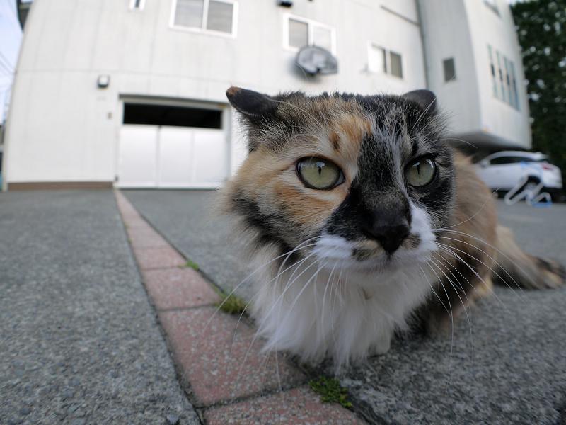 毛が長い三毛猫をローアングルで2