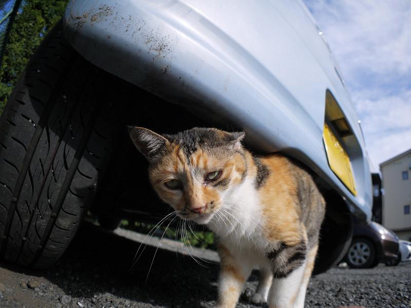 車の下の三毛猫2