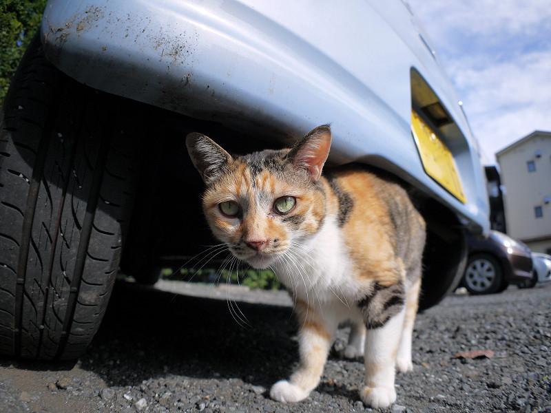 車の下の三毛猫3