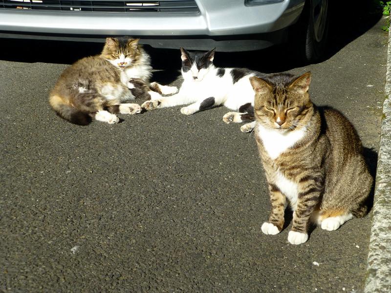車の前の猫3匹3