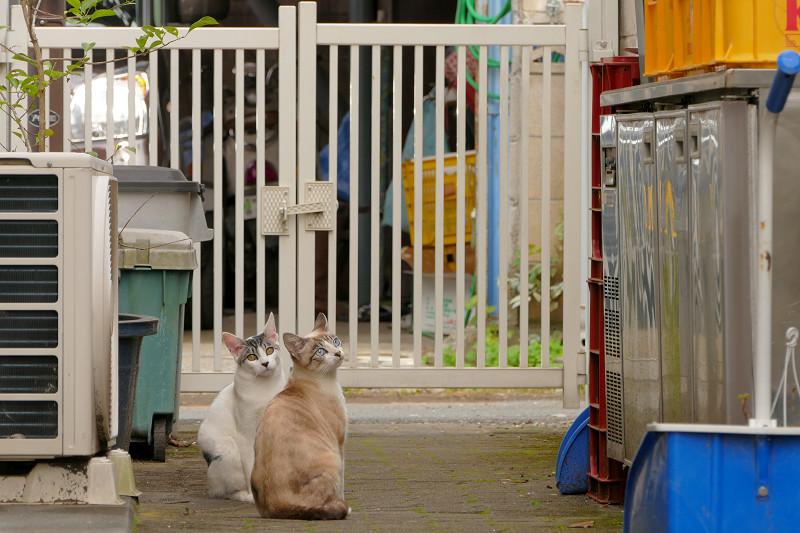 ブロック塀を降りる親猫3