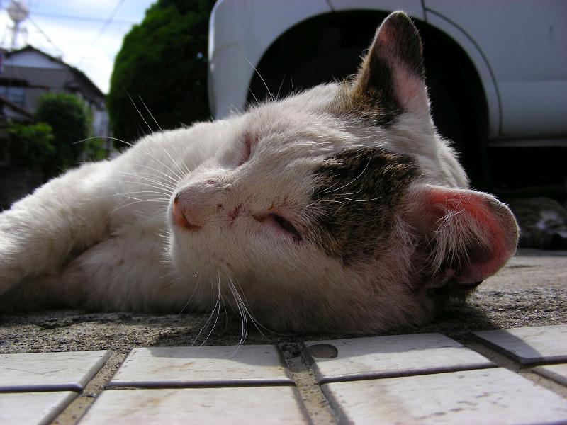 タイルで寝ている白キジ猫1