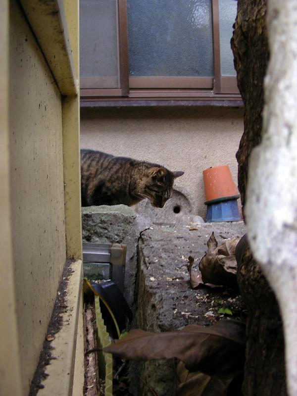アパート敷地のキジトラ猫1