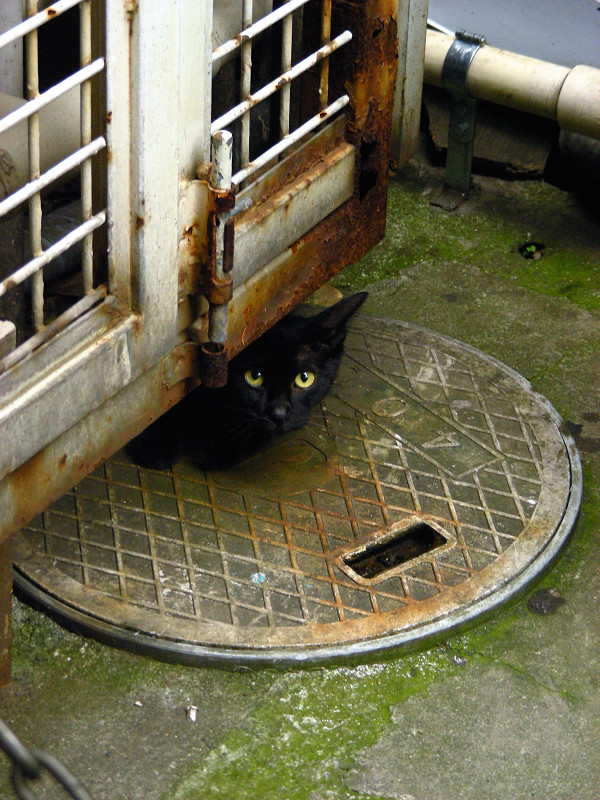 マンホールと黒猫