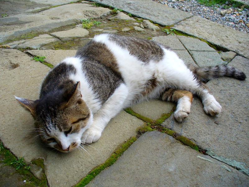 境内で寝そべったキジ白猫1