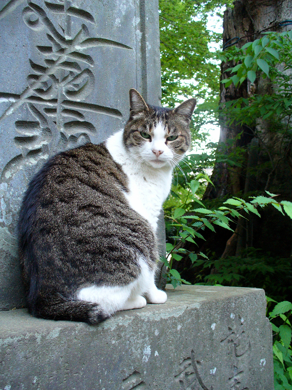 石碑に乗ってるキジ白猫1