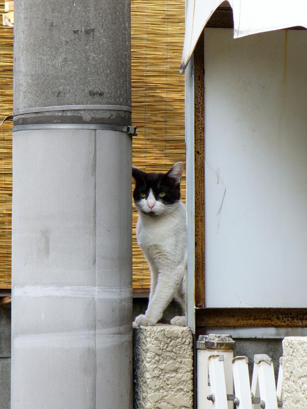 狭い隙間から見ている黒白猫1