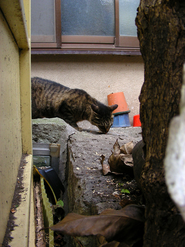 アパート敷地のキジトラ猫2