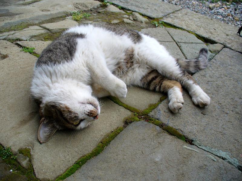 境内で寝そべったキジ白猫2