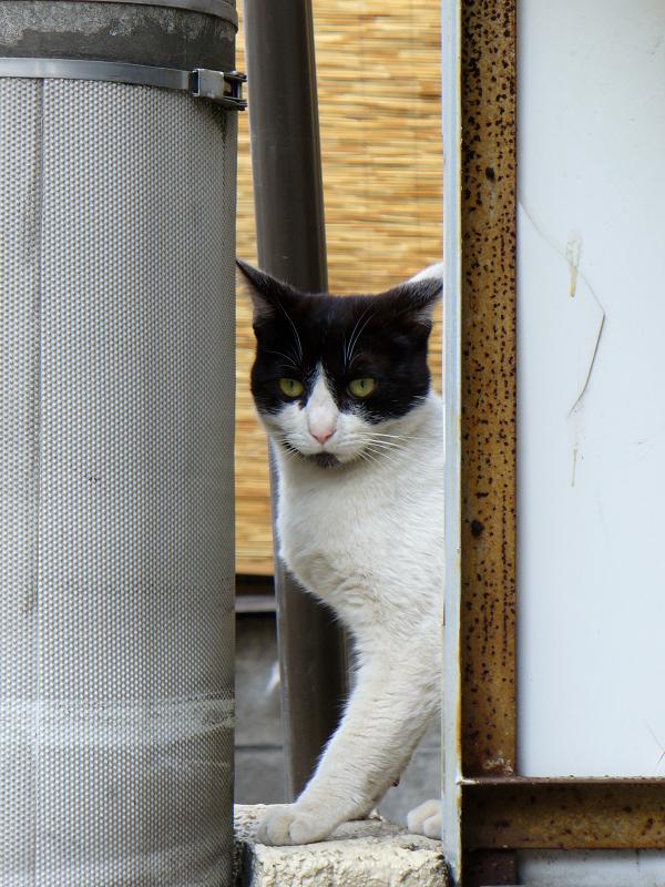 狭い隙間から見ている黒白猫2