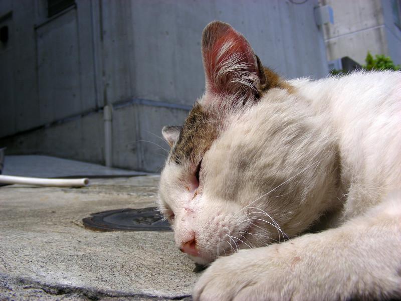 タイルで寝ている白キジ猫3