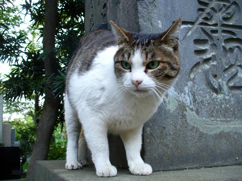 石碑に乗ってるキジ白猫3