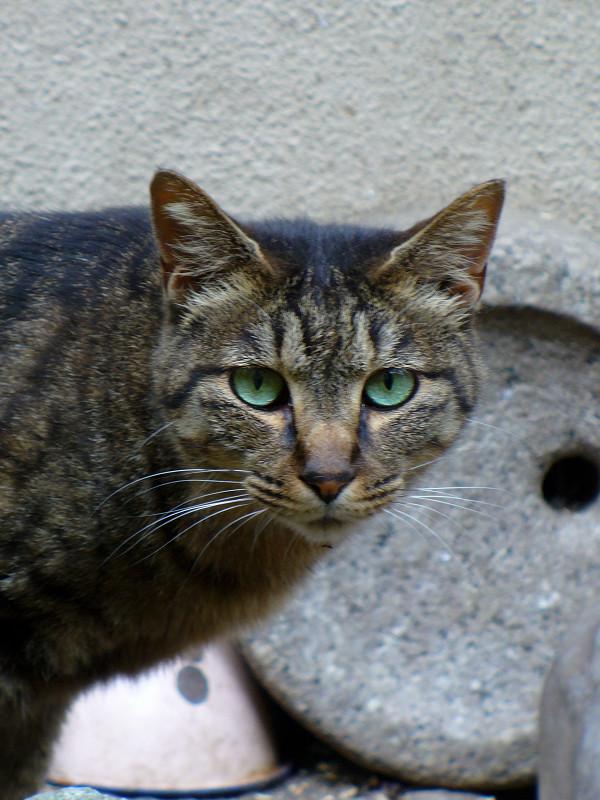 アパート敷地のキジトラ猫3