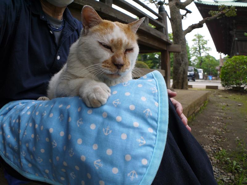 冷感シートの茶白猫1